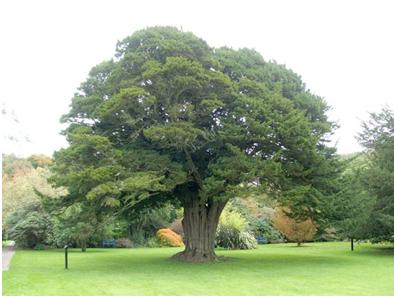 yew tree 2